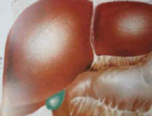 Le foie et la vésicule biliaire