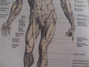 muscles sans psoas